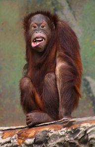 Pongo_pygmaeus_(orangutang)