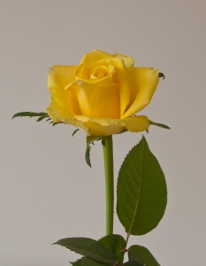 1417178_yellow_rose