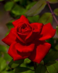 rose-1441525-m