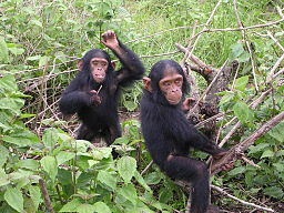 Young chimpanzees from Jane Goodall sanctuary of Tchimpounga (Congo Brazzaville)
