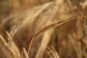 wheat-1431691-m