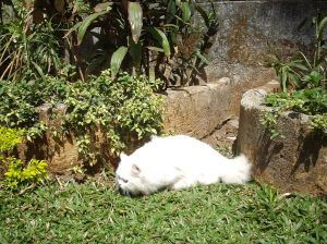 persian_cat_-matahari_hunting_